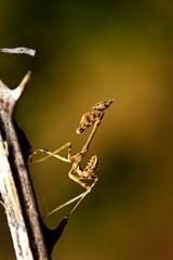 Empusidae (Little Boy 09) Tags: canon eos 60d sigma 105mm os macro macrodream venus flash kx800 mantis colors bokeh wildlife