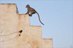 oops!, badami (nevil zaveri (thank you for 10 million+ views :)) Tags: zaveri india badami street monkey baby adaptation steps staircase langaur home house karnataka photography photographer images photos blog stockimages photograph photographs nevil nevilzaveri stock photo animals mammals architecture