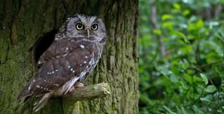Boreal owl - Raufußkauz