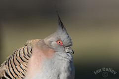 Crested Pigeon (0cyphaps lophotes) (Ian Colley Photography) Tags: bird canoneos7dmarkii 500mm inverell crestedpigeon 0cyphapslophotes newsouthwales