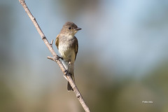 Eastern Phoebe (Mike Veltri) Tags: wild ontario canada nature birds canon phoebe eastern avian mikeveltri