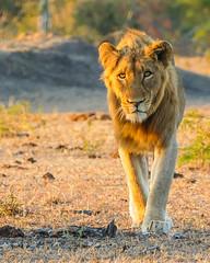 Stalking (MarcCooper_1950) Tags: lion lioness africa wild wildlife bush safari bigfive predator bigcats biggame animals feline fauna goldenhour sabisands arathusa lodge marccooper panasonic lumix fz1000 leica iightrrom hdr
