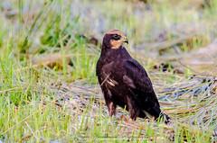 Marsh Harrier juv (circus aeruginosus) (phat5toe) Tags: marshharrier raptor circusaeruginosus prey birds avian feathers wildlife nature leightonmoss lancashire nikon d7000 sigma150500