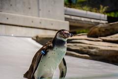 Penguin (malc1702) Tags: penguin birds aquaticbirds beauty nikond7100 nikkor18140mm travel holiday sasebo japan kujukushimazoologicalandbotanicalgarden flickrunitedaward