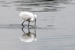 Egret (Shane Jones) Tags: egret wader wadingbird bird wildlife arne nikon d500 200400vr tc14eii