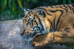 Suka @ 10 Months (ToddLahman) Tags: suka joanne teddy tigers tiger tigertrail tigercub canon7dmkii canon canon100400 cat sandiegozoosafaripark safaripark sumatrantiger escondido