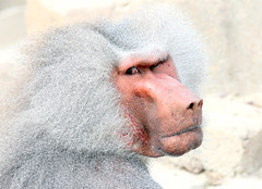 If Looks Could Kill.... (Ger Bosma) Tags: 2mg181969filtered mantelbaviaan papiohamadryas hamadryasbaboon sacredbaboon mantelpavian pavian babouinhamadryas papin babuinohamadryas hamadrade babuinosagradoegipcio amadriade baboon primate monkey ape africa african hornofafrica male mature head tough scarface scars scarred face