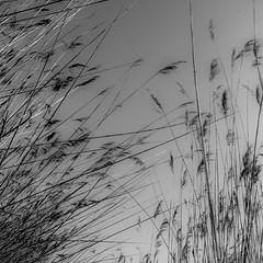 vol au vent (zventure,) Tags: monochrome nature noir noiretblanc roseaux grey gris dentelle chemin carr cach aube alpesmaritimes bordsduvar buissons blackandwhite matin lignes landscape var