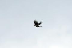 Grey Jay, Colorado State Forest, Jackson, Colorado (Terathopius) Tags: coloradostateforest jacksoncounty colorado usa greyjay perisoreuscanadensiscapitalis perisoreuscanadensis