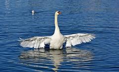 Belle envergure (Diegojack) Tags: nikon nikonpassion d7200 cygnes morges ailes majestueux fabuleuse oiseaux