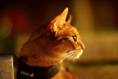 Late night (DizzieMizzieLizzie) Tags: abyssinian aby beautiful wonderful lizzie dizziemizzielizzie portrait a7 cat chats feline gato gatto katt katze katzen kot meow mirrorless pisica sony mitakon night soft