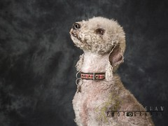 Bedlington Terrier (Karl Redshaw Photography) Tags: terrier agility animal companion dog domestic friend loyal mamal pet puppy tibetan