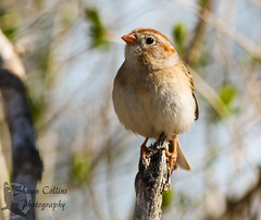 Field Sparrow (Shawn Collins Photography) Tags: bird birds spring migration pennsyvlania