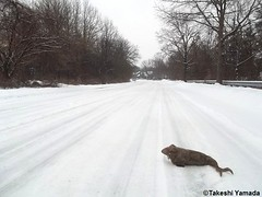 Seara (sea rabbit) on the snow covered ground on March 1, 2015. The Northeastern United States experienced another very cold (far below average temperature) and longer winter months during 2014 and 2015. New York.  20150301 056=2020== (searabbits23) Tags: food ny newyork sexy celebrity art hat fashion animal brooklyn painting asian coneyisland japanese star costume tv google king artist dragon god cosplay manhattan wildlife famous gothic goth performance pop taxidermy cnn tuxedo bikini tophat unitednations playboy entertainer takeshi samurai genius mermaid amc johnnydepp mardigras salvadordali unicorn billclinton billgates aol vangogh curiosities sideshow jeffkoons globalwarming takashimurakami pablopicasso steampunk yamada damienhirst cryptozoology freakshow barackobama seara immortalized takeshiyamada museumofworldwonders roguetaxidermy searabbit ladygaga climategate minnesotaassociationofroguetaxidermists