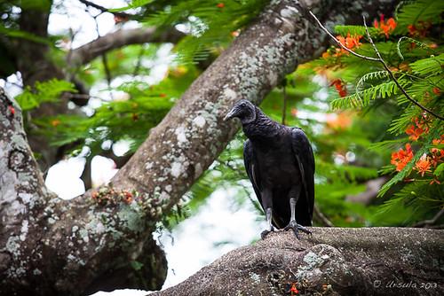 Black Vulture 6437