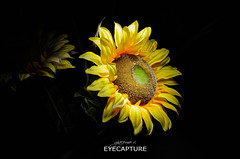 Girasole - Sonnenblume - Helianthus (mxjack) Tags: life flowers summer italy black flower love beautiful yellow night photoshop photo nikon italia foto live n award giallo cs editing fiori dslr sole fiore notte girasole edit lightroom sonnenblume photooftheday helianthus aws d7000 nikond7000 nikontop