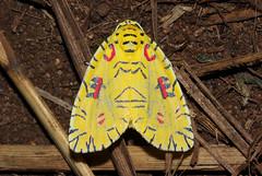 Mazuca strigicincta (zimbart) Tags: africa insects lepidoptera noctuidae mozambique gorongosanationalpark specinsect inselbergs mazuca mazucastrigicincta bungacamp