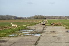 Deer family crossing runway. Former RAF Framingham (Gordon Haws) Tags: eastanglia b17bomber b17flyingfortress runningdeer parhamairfield worldwartwoairfields usaafstaion153 eastanglianairfields usaafstation153 formerrafframlingham