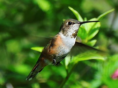 Hovering Hummingbird (How.I.E) Tags: bird nature beautiful amazing wings critter wildlife awesome small wing feathers tiny beat creature