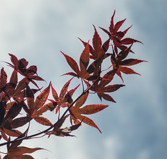 Reaching Skyward - July 2016 (GOR44Photographic@Gmail.com) Tags: red sky cloud tree leaves leaf acer hatfield fujifilm tamron xpro1 tamron3570mmf35 gor44 3570mmf35fd