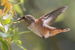 IMG_4510.jpg Allen's Hummingbird, Schwan Lake (ldjaffe) Tags: allenshummingbird schwanlake