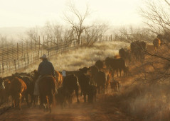 Colder Weather (It Feels Like Rain) Tags: ranch ranching westtexas texas cows cattle cowboy