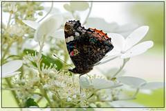 Vanessa Atalanta / Red Admiral (Nymphalidae) (Joop Rensema.) Tags: vanessaatalanta nymphalidae redadmiral macro canon eos70d ef100mm f28l is usm