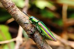 Chrysochroa fulgidissima (Schongerr, 1817) (Shawn Dai) Tags: coleoptera buprestidae chrysochroa fulgidissima chrysochroafulgidissima
