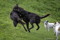 Flat-coat Fun with Terrier Gallery (Blazingstar) Tags: flatcoated retriever terrier parson russel play liver