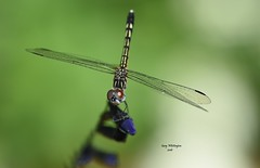 Dragonfly_0424 (Porch Dog) Tags: 2016 garywhittington kentucky nikond750 fx nikon105mm macro backyard home dragonfly bug critter