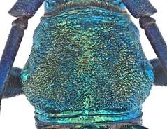 Malayanochroma cheongae Bentanachs & Drouin, 2013 Male Pronotum (urjsa) Tags: coleoptera kfer beetle insect cerambycidae malayanochroma malaysia geo:country=malaysia taxonomy:order=coleoptera kaefer taxonomy:genus=malayanochroma suedostasien southeastasia sdostasien taxonomy:family=cerambycidae coleopteraus cheongae malayanochromacheongae taxonomy:species=malayanochroma taxonomy:binomial=malayanochromacheongae pronotum