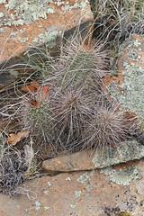 CAD0000066a (jerryoldenettel) Tags: cactus flower nm cactaceae wildflower echinocereus 2016 hedgehogcactus caryophyllales sandstonebluffsoverlook coreeudicots echinocereuscoccineus cibolaco scarlethedgehogcactus elmalpaisnationalconservationarea