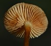 Rusty gill mushroom Gymnopilus sp Airlie Beach rainforest P1070406 (Steve & Alison1) Tags: rusty gill mushroom gymnopilus sp airlie beach rainforest