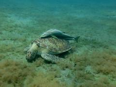 IMG_3734 (adrienweckel) Tags: adrienweckel cheloniamydas echeneisnaucrates poissons rémoracommun rémorarayé tortueverte