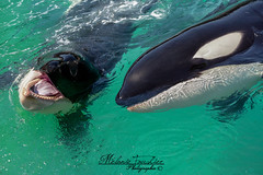 Two Brothers (orcamel30) Tags: keijo moana orca epaulard orcinus orque dolphin dauphin cetace espiegle joueur attendrissant shoot marineland biot antibes nikon d7100 55300