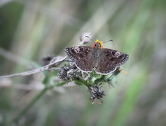 Dingy skipper / Kronwicken-Dickkopffalter (Erynnis tages), Germany