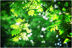 Sunlit Leaves (h_cowell) Tags: wood trees sunlight blur green nature leaves forest woodland outside blurry zoom bokeh outdoor panasonic greenery backlit backlighting gx7 45175mm