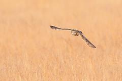 Burrowing Owl (Dara Lork) Tags: nikon wildlife raptor owl fl f4 d500 burrowing 600mm