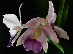 Cattleya  Blue Velvet 'Surprise' SM/JOGA (Kazuko Takamatsu x Mini Purple) (Jess 56) Tags: flowers flores orchid flower fleur fleurs orchids flor blumen orchidaceae fiori  fiore orqudeas bulaklak orchides orchide flors orqudea iek  orkid  orqudia orqudies