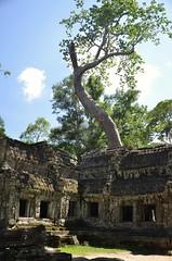 Angkor Thom/Ta Prohm (...Ola_S...) Tags: southeastasia cambodia camboya kambodsja angkorthom angkoriantemples taprohm tree tre temple tempel worldheritageunesco nikond7000 ruins ruiner