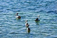 Australia. (RViana) Tags: wildlife australien australie oceania camberra vidaselvagem ozeanien  ocanie oceanien oseania canberran
