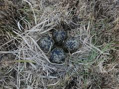 _2360197 (JMarshall78) Tags: nest nests ornithology birds wildlife devon
