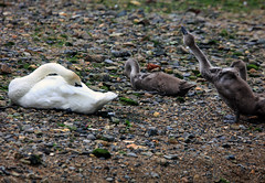 Mute Swan & 3 Cygnets (1) (grahamh1651) Tags: newlyn newlynharbour tolcarne birds seabirds gulls swans waders shorebirds