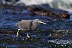 Stalker (Geoff Main) Tags: australia bird canon7dmarkii canonef300mmf28lisiiusm canonefextender20xiii easternreefegret nsw nswsouthcoast rockshelf sea easternreefheron nswsouthcoastaustraliabirdcanon7dmarkiicanonef300mmf28lisiiusmcanonefextender20xiiieasternreefegretmoruyaheadsnswnswsouthcoastpedropointrockshelfsea