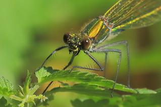 ♀ Caloptéryx éclatant - Banded demoiselle - Calopteryx splendens