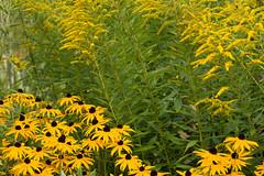 ckuchem-7322 (christine_kuchem) Tags: blte blten garten gartenstaude goldrute naturgarten privatgarten rudbeckia sommer sommerblumen sonnenhut staude stauden staudengarten gelb naturnah natrlich