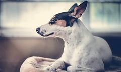 Life's good!! #deckerratterrier#mydog#ratterrier#dogphotography (kelvinlovely) Tags: dogphotography ratterrier deckerratterrier mydog