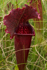 August Wildflowers - Pitcher Plant (stephaniepluscht) Tags: alabama 2016 wildflowers flowers graham creek nature preserve august bloom blooms pitcher plant sarracenia