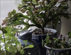213 - Lurking on the Windowsill (North Light) Tags: summerweather windowsill plants thurso caithness scotland