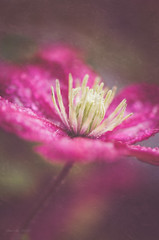 Clematis in the rain (Marissen) Tags: 105mm pink clematis closeup flower macro nikond7000 rain texture droplets